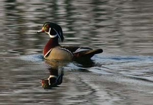 Wood duck, Gladstone Lake.jpg