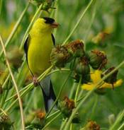 Goldfinch-&-Coreopsis-Seed-.jpg